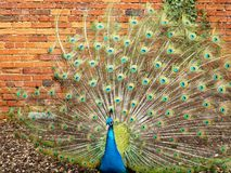 Peacock With Red Feather Display Stock Photo Image Of
