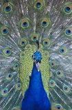 Peacock displaying feathers close-up Royalty Free Stock Photos