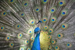 Peacock displaying feathers Stock Photo