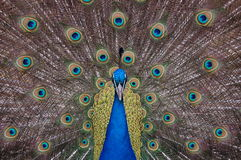 Peacock displaying feathers looking at the camera Royalty Free Stock Image