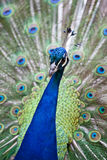 Peacock displaying feathers Stock Photography