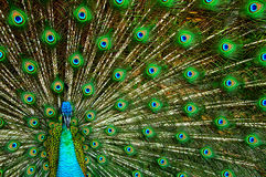 Peacock displaying Royalty Free Stock Photography