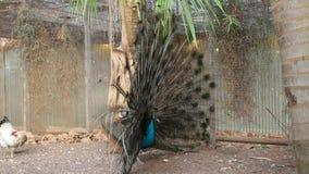 Peacock stock video