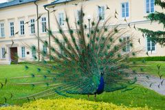 Peacock displaying his colorful tail feathers, with the old building in the background stock image