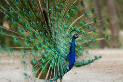 A peacock displaying his plumage Stock Photography