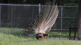 Peacock displaying his tail stock video footage