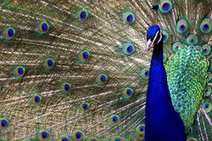 Peacock displaying his tale Royalty Free Stock Images