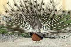 Peacock displaying its Feathers Royalty Free Stock Images