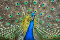 Peacock displaying its feathers. Stock Photo
