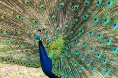 Peacock displaying its feathers Stock Photos