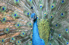 Peacock is displaying its plumage Stock Photography