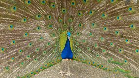Peacock on display. Peacock displaying its tail to a female Royalty Free Stock Photography