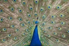 Peacock displaying plumage stock image
