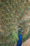 Peacock displaying plumage stock images