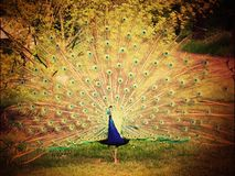 Peacock displaying it's feathers Royalty Free Stock Image