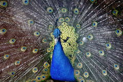 Peacock displaying tail Stock Photography