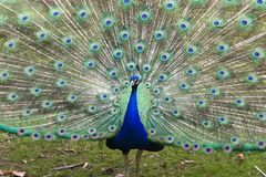 Peacock displaying tail feathers Stock Image