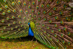 Peacock displaying tail. A male peacock displaying its tail feathers stock photos