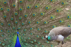 Peacock displaying to peahen. A Peacock (Pavo cristatus) courts a peahen (in front) with his tail fanned Stock Image