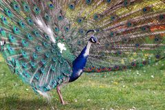 Peacock displays Stock Image