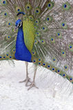 Peacock. A peacock displays its plumage Royalty Free Stock Photography