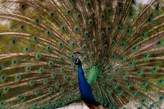 Peacock dissolved the tail fan. Indian peacock spreading their beautiful tail feathers out in the wind Stock Photo