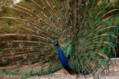 Peacock dissolved the tail fan. Indian peacock spreading their beautiful tail feathers out in the wind Royalty Free Stock Photo