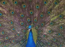Peacock drama Royalty Free Stock Images