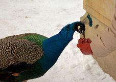 Peacock eating from the hand of man in winter Royalty Free Stock Images