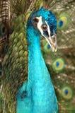 The peacock Stock Photos