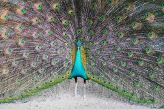 A peacock expanded colorful feathers. Close up of peacock shows colorful tail spread stock photography