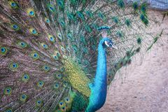 A peacock expanded colorful feathers. Close up of peacock shows colorful tail spread stock image