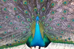 A peacock expanded colorful feathers. Close up of peacock shows colorful tail spread stock photo