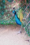 A peacock expanded colorful feathers. Close up of peacock shows colorful tail spread royalty free stock photo