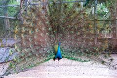 A peacock expanded colorful feathers. Peacock shows colorful tail spread royalty free stock photos