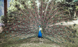 Peacock with expanded tail Stock Photography