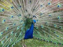 PEACOCK EXTENDING FEATHERS. Wide shot of a male peacock extending his tail feathers Stock Photo