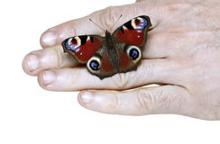 Peacock eye Butterfly on a hand Stock Images