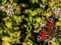 Peacock eye butterfly. White blossom oregano Royalty Free Stock Photos