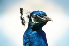 Peacock Face Close-Up Stock Photos