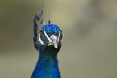 Peacock face Stock Photo