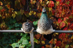 Peacock Family Stock Images