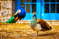 Peacock family. Couple male and female Royalty Free Stock Images