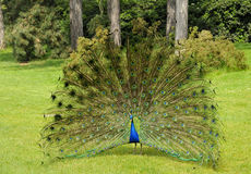 Peacock with fan of feathers Stock Photography