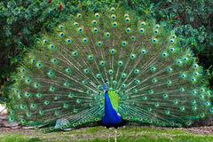 Peacock with fanned tail Stock Photography