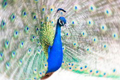 Peacock fanning out its tail Royalty Free Stock Images