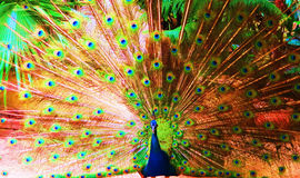 Peacock fannings it feathers. A peacock putting on a dazzling display of its colorful tail Stock Image