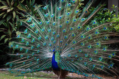 Peacock fans its tail to attract female Stock Photo