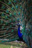 Peacock fans its tail to attract female Stock Image