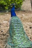Peacock in the farm Royalty Free Stock Image